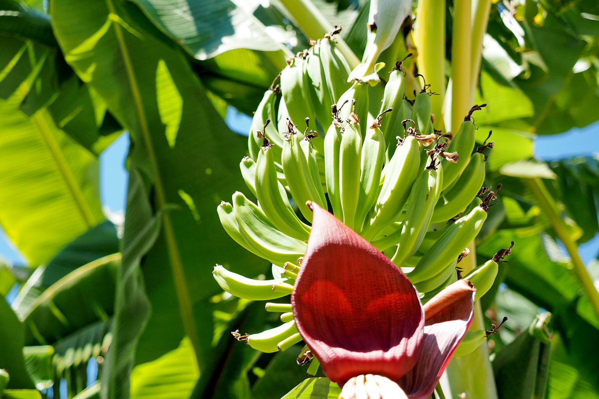 guck mal da wachsen bananen ich flipp aus ein video trip nach m laga f r den dortmunder. Black Bedroom Furniture Sets. Home Design Ideas