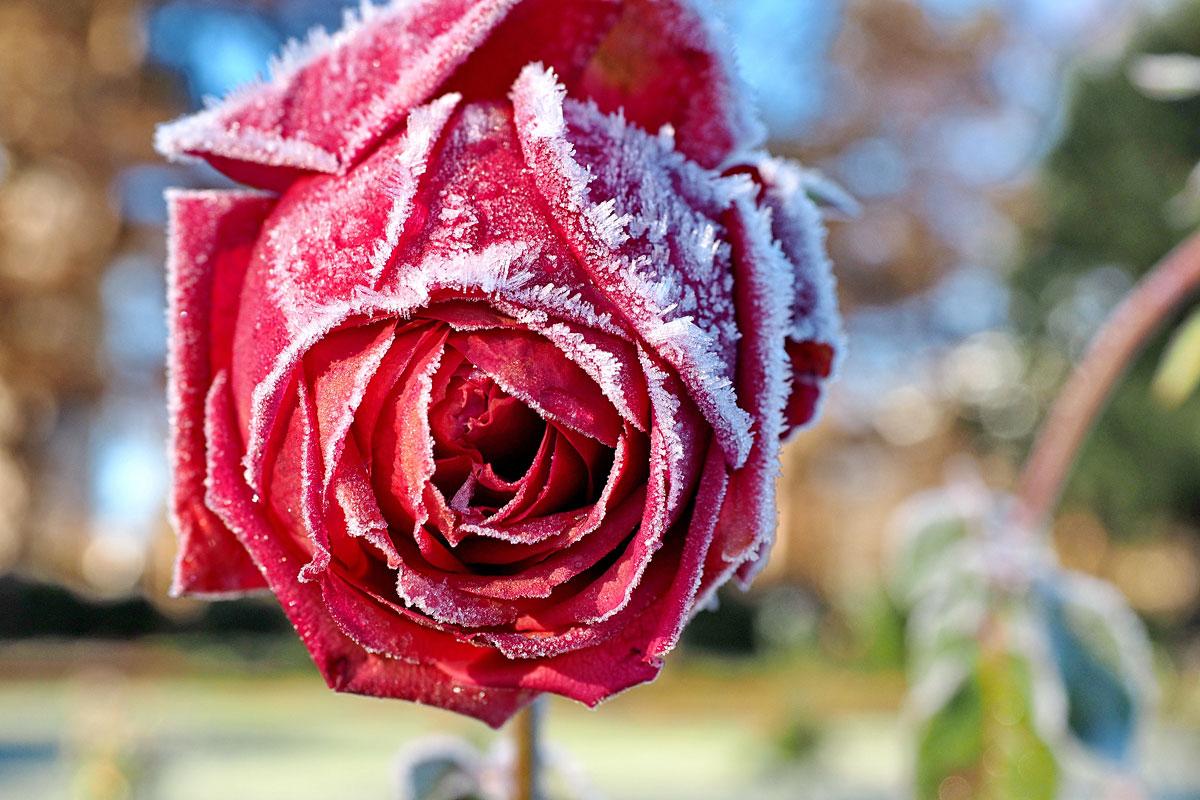 20161210 eis gefroren rosen blaetter westfalenpark 7. Black Bedroom Furniture Sets. Home Design Ideas